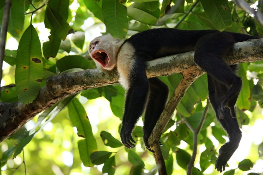 Best Places to Enjoy Wildlife in Costa Rica. Capuchin Monkey