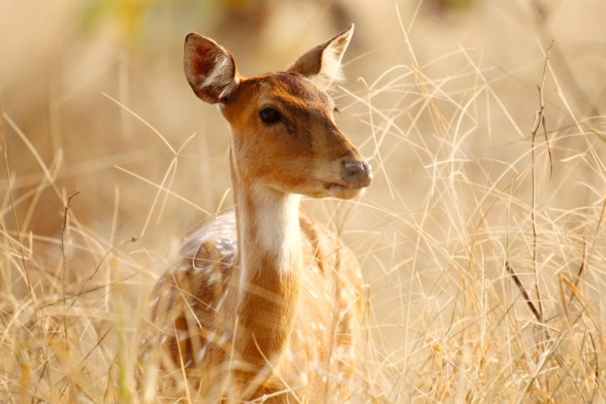 India's Best Wildlife Safari Parks. Spotted deer at Tadoba Tiger Reserve