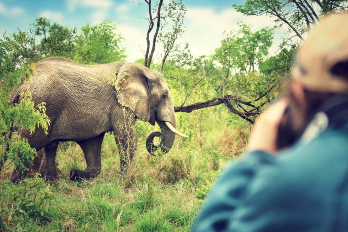 Travel trends in Spring 2017. Photographer taking pictures of an African elephants, wild animal, safari game drive, Eco travel and tourism, Kruger national park, South Africa