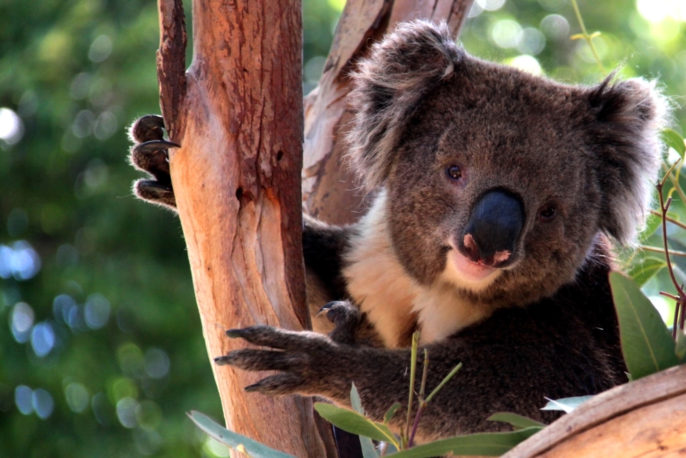Explore Hidden Wonders: Australia, Indonesia, Asia. Victorian Koala in Eucalyptus Tree, Adelaide, Australia. Photo: depositphotos.com