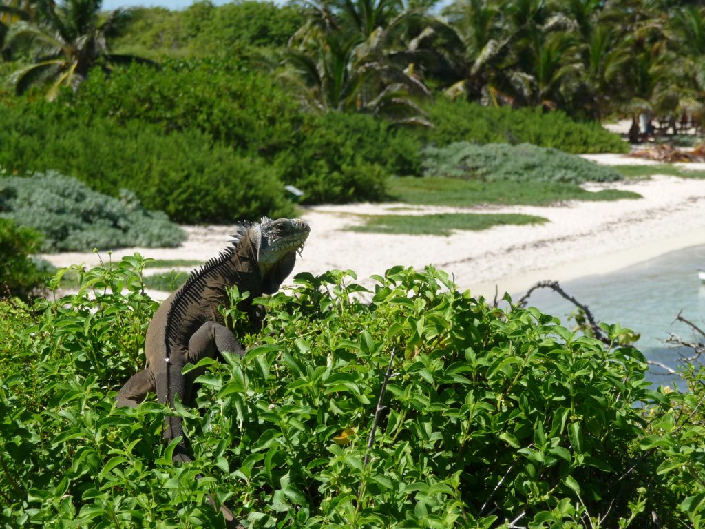 Guadeloupe – Pearl of the Caribbean. Iguane gris - Petite Terre - Guadeloupe